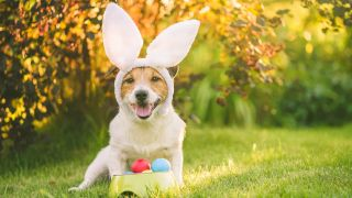 Easter eggs for dogs: Dog dressed in bunny costume for Easter sitting with bowl of colorful painted eggs
