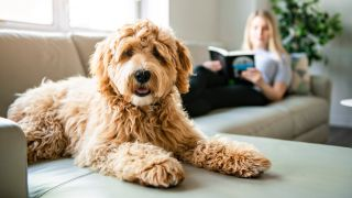 Golden Labradoodle dog sitting on sofa with woman in background reading a book