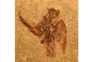 fossils, birds, hummingirds, swifts