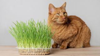 Catmint vs catnip: Ginger cat sat next to catnip