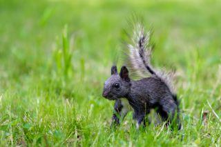 A black gray squirrel