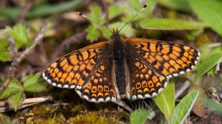 The Glanville fritillary butterfly, out of which the trio of stomach-bursting parasites emerge.