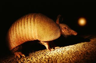 Armadillo at night