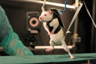 Rat in harness