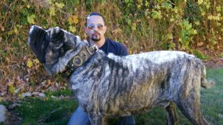 Mammoth guard dog breed the Molossus: Marcus Curtis and Sasquatch