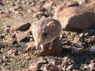A newly identified sengi, or elephant shrew, from the Namib Desert.