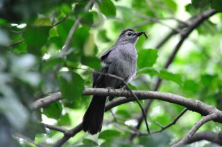 Gray catbirds, global warming, climate change