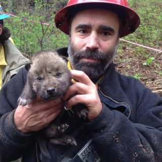 Funny River Fire wolf pup rescue
