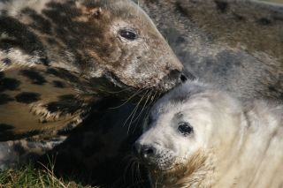 gray mother seal with pup