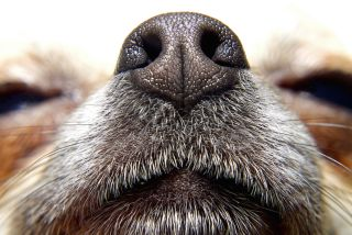 If Dogs Can Smell Cancer, Why Don't They Screen People