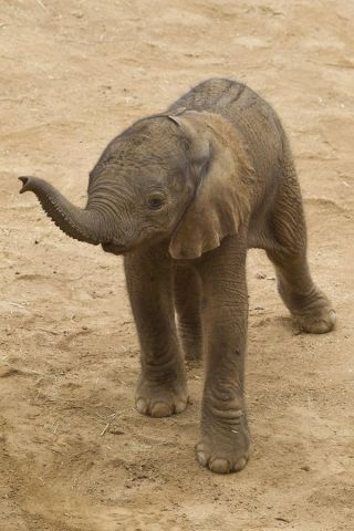 babyelephant-110927-02