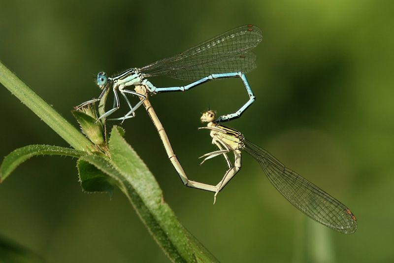 Animal Sex How Dragonflies And Damselflies Do It Live Science