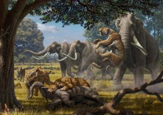 Illustration shows a pack of saber-toothed cats (Smilodon) fighting with adult Colombian mammoths over a juvenile mammoth they've felled.