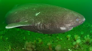 A Greenland shark swimming in the St. Lawrence River estuary in Canada.