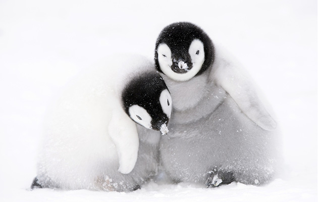 A pair of six-week-old penguin chicks huddle together for warmth in Antarctica - just some of the amazing animals who feature in Dynasties