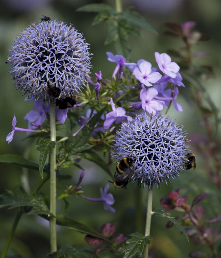Bees on echinops flowers in a bee friendly garden