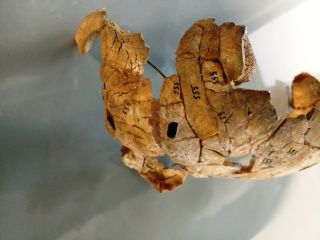 Polish Mesolithic Skull
