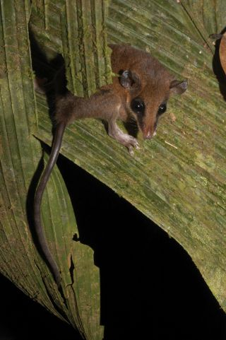 "Scientists have re-classified two South American species of miniature ""mouse"" opossums."