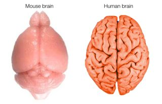 Mouse and human brain compared