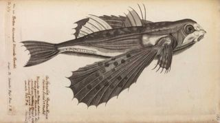 Flying fish engraving from 1686 book.
