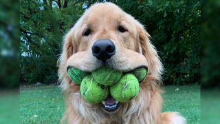 A photo of a golden retriever named Finley Molloy with five visible tennis balls in his mouth