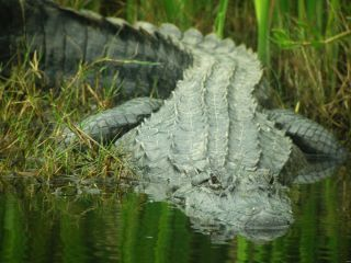 alligators, crocodiles, fun facts
