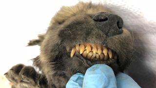 The pup still had its milk teeth, suggesting it was under 2 months old when it died.