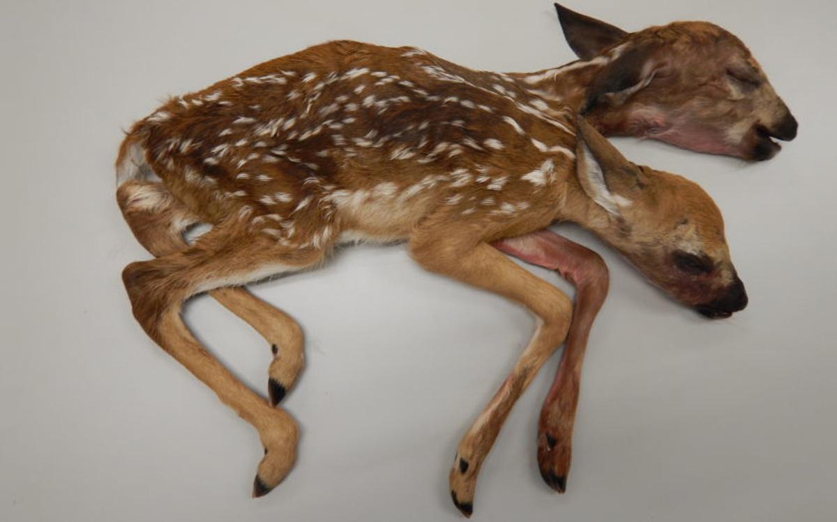Two Headed Deer Found Dead In Minnesota Woods Live Science