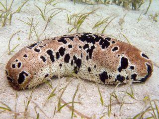 A sea cucumber, cuisine, endangered species
