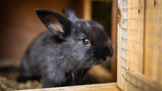 A black, baby rabbit in the best rabbit hutch