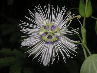madidi-passiflora-madidiana-101118-02