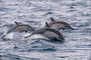 Dolphins swimming in pod