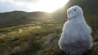 Mice are attacking and eating Tristan albatross chicks on Gough Island in the South Atlantic.