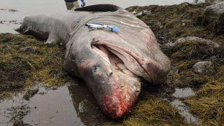 The dead basking shark was more than 26 feet long.