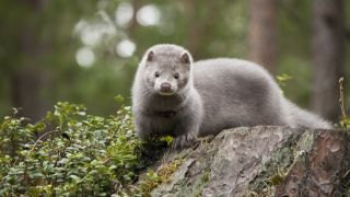 Mink sitting on a rock in the forest