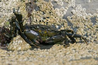 Green shore crab (Carcinus maenas).