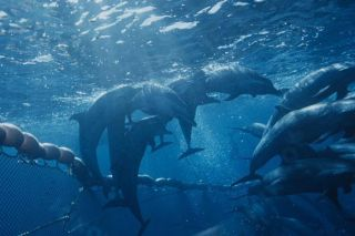 dolphins entangled in a gillnet, bycatch, animal welfare