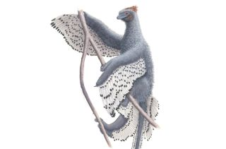 The crow-size <em>Anchiornis huxleyi</em> was downright fluffy, scientists have found.