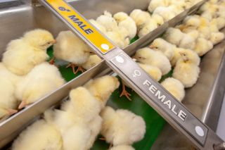 male chicks and female chicks in industrial agriculture line