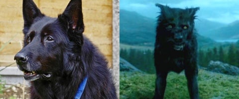 Padfoot Harry Potter Dog | www.pixshark.com - Images ...
