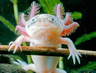 A white albino axolotl staring curiously at the camera.