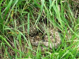 A severe fungal infection has killed six rare eastern massasauga rattlesnakes in Illinois and scientists suspect more snakes are becoming sick.
