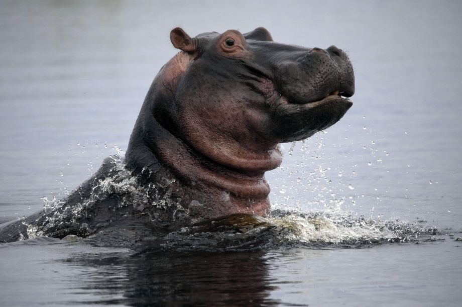 Hippos: Africa's River Giants: Natural World