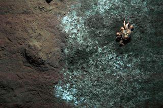 methane crab