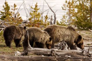 wilderness act, grizzly bears, protections