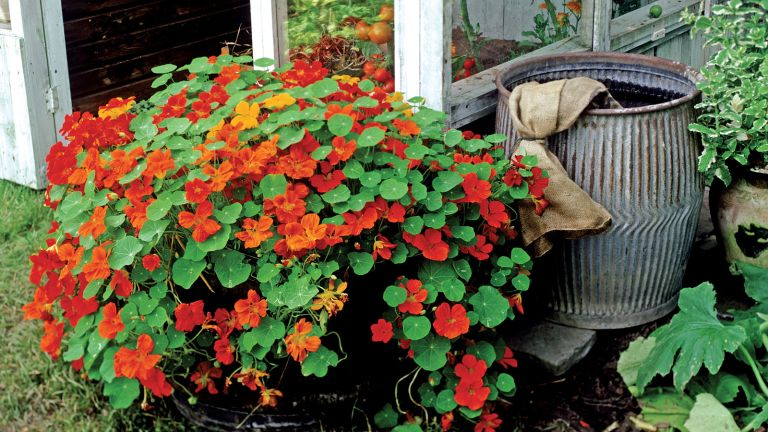 nasturtiums in a container