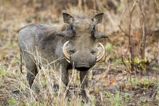 Facts About Warthogs | Live Science