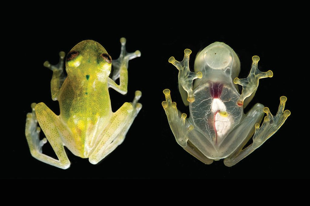 Glass frogs, ghost shrimp and clearwing butterflies use transparency to evade predators HQhje8Josgvpb5JrXnjLPm-1024-80