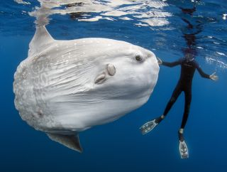 "The new ""largest bony fish"" (<em>Mola alexandrine</em>) was originally misidentified as a <em>Mola mola</em> sunfish, which is shown in this image with diver Daniel Botelho in San Diego, California."
