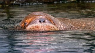 stock image of a walrus poking its snout from the water